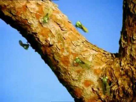 Minuscule – Latijnse cicade