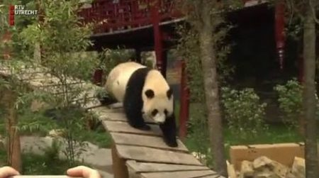 Ouwehands Dierenpark – Reuzenpanda's Gaan Eindelijk Naar Buiten!!