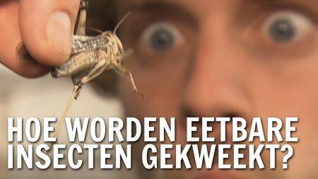 De Buitendienst – Hoe Worden Eetbare Insecten Gekweekt?