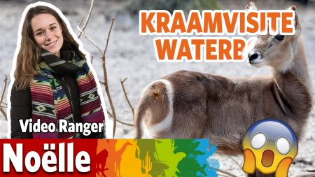 Burgers Zoo – Op Kraambezoek Bij De Waterbok!