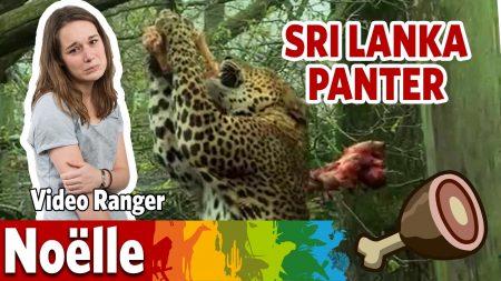 Burgers Zoo – Is Noëlle De Sri Lanka Panter Te Slim Af?