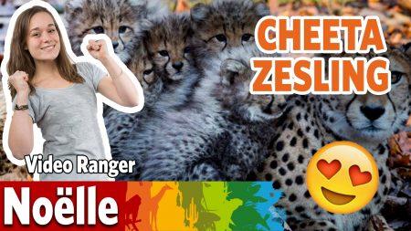 Burgers Zoo – Is De Cheeta-man Een Betrokken Vader?
