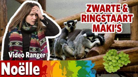Burgers Zoo – Welke Maki Is Het Meest Dominant?