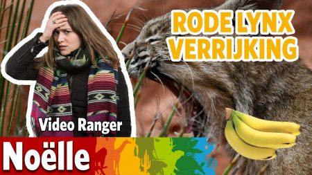 Burgers Zoo – Waar Gaat De Rode Lynx Als Eerste Op Af?