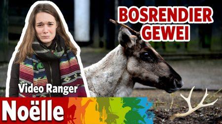 Burgers Zoo – Waarom Hebben Bosrendieren Een Gewei?