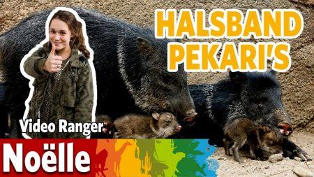 Burgers Zoo – Wat Vinden De Halsbandpekari's Als Eerste?