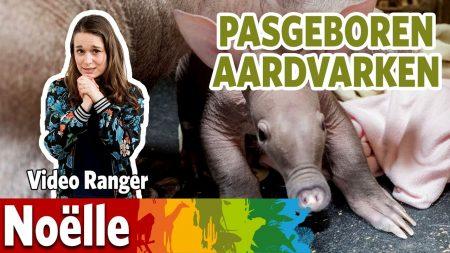 Burgers Zoo – Ik Ga Op Bezoek Bij Het Aardvarkenjong