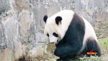 Ouwehands Dierenpark – De Chinees-Nederlandse Pandadroom