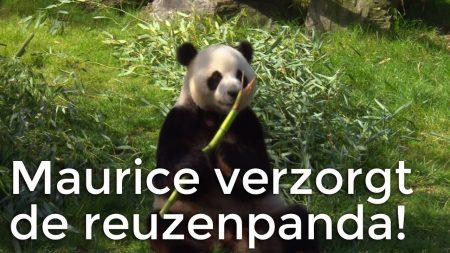 Het Klokhuis – Maurice Is Op Bezoek Bij Reuzenpanda's