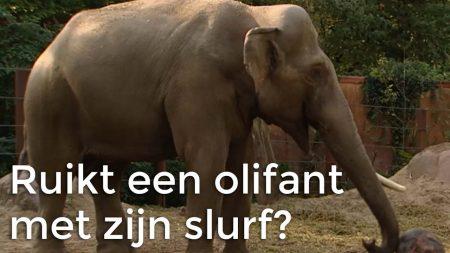 Het Klokhuis – Kan Een Olifant Ruiken Met Zijn Slurf?