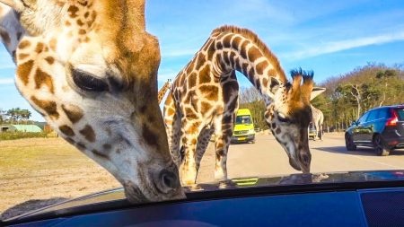 Enzo Knol – Omcirkeld Door Giraffe!! – Vlog #1656