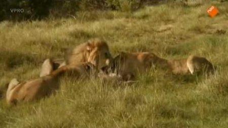 Freek In Het Wild – De Leeuwen