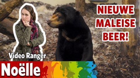 Burgers Zoo – Een Nieuwe Maleise Berenman In Burgers' Rimba