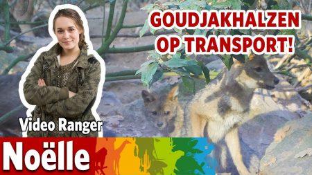 Burgers Zoo – Goudjakhalzen Maken Zich Klaar Voor Verhuizing