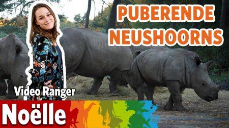 Burgers Zoo – Puberende Neushoorns?!