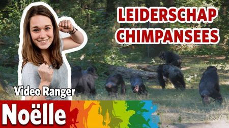 Burgers Zoo – Wie Is De Baas Bij De Chimpansees?