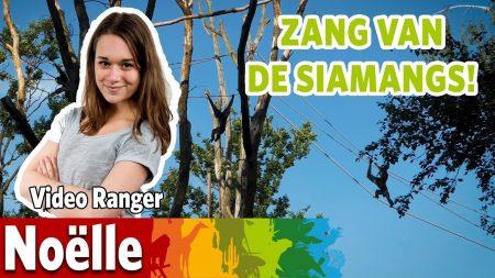 Burgers Zoo – Zingende Siamangs!