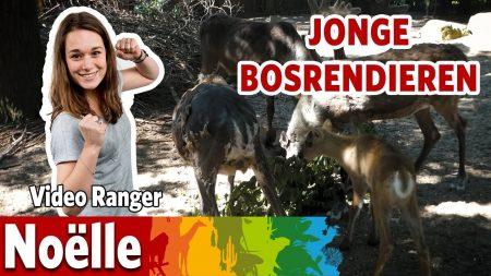 Burgers Zoo – Geboortegolf Bij De Rendieren!