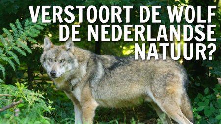 De Buitendienst – Verstoort De Wolf De Nederlandse Natuur?