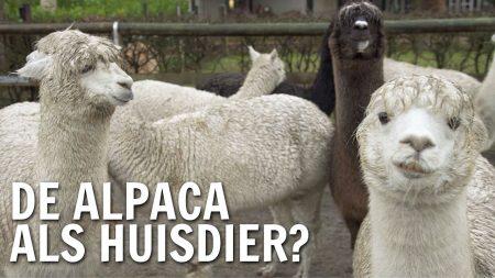 De Buitendienst – Kun Je Alpaca's Houden Als Huisdier?