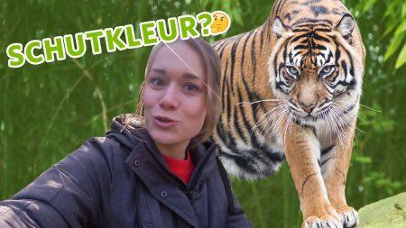 Burgers Zoo – 🐅 Hebben Tijgers Een Schutkleur? 🐅