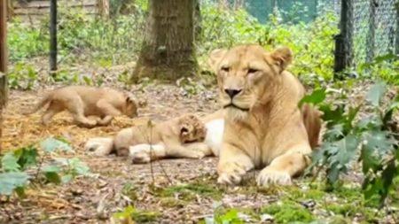 Burgers Zoo – Eerste Beelden Jonge Leeuwen ??