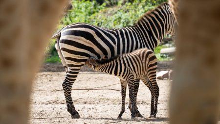 Burgers Zoo – Twee Jonge Zebra's Op De Safari-Vlakte! ??