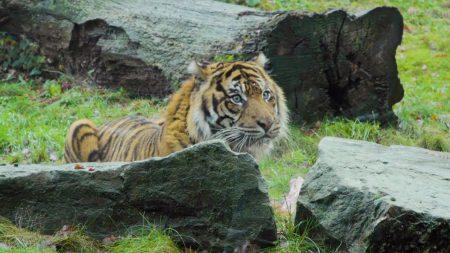 Burgers Zoo – Met De Dierverzorger Bij De Sumatraanse Tijgers – 🔴 LIVE VIDEO 🔴