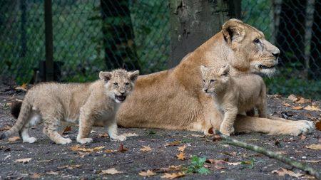 Burgers Zoo – Geboortegolf Bij De Leeuwen: 5 Leeuwenwelpen! – 🔴 LIVE VIDEO 🔴