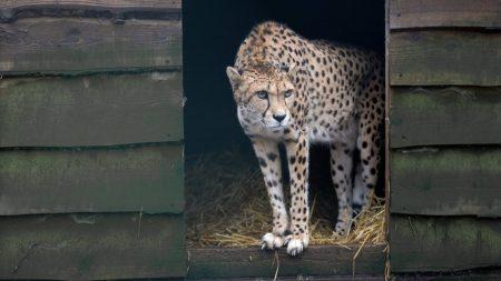 Burgers Zoo – Wanneer Worden Er Weer Jonge Cheeta's Geboren? – 🔴 LIVE VIDEO 🔴